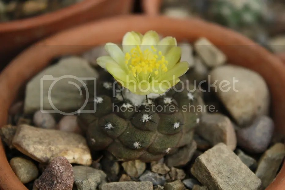 Copiapoa hypogaea flower