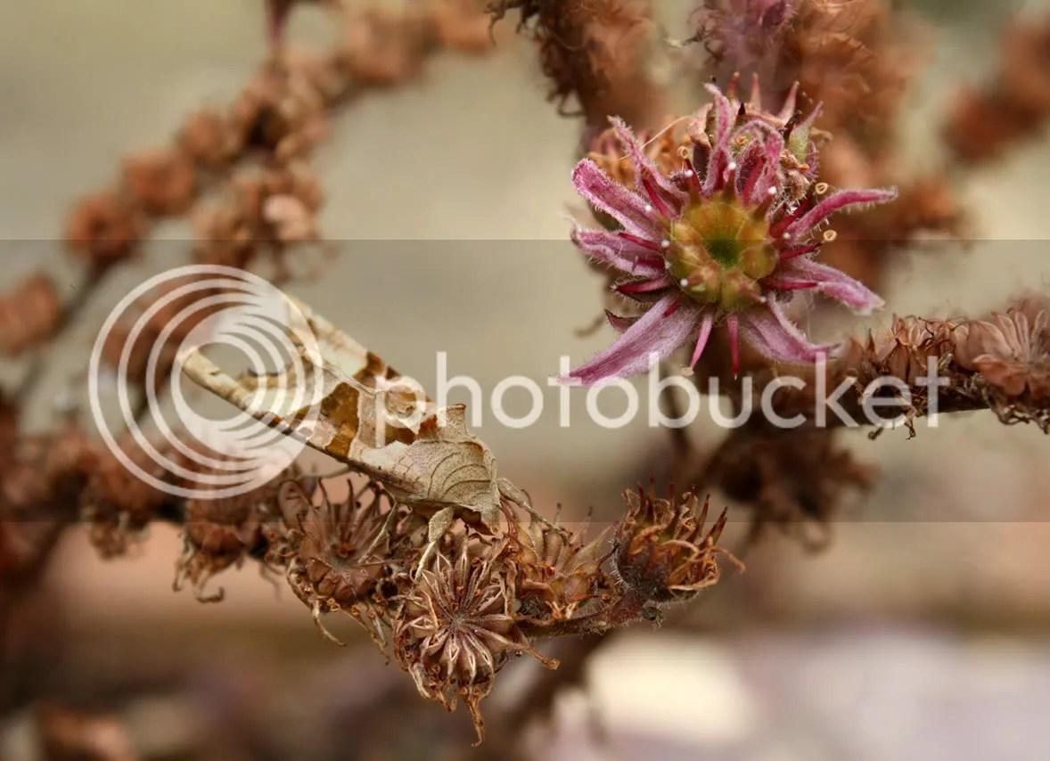 Brown moth & Sempervivum
