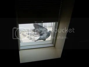 pigeon in window