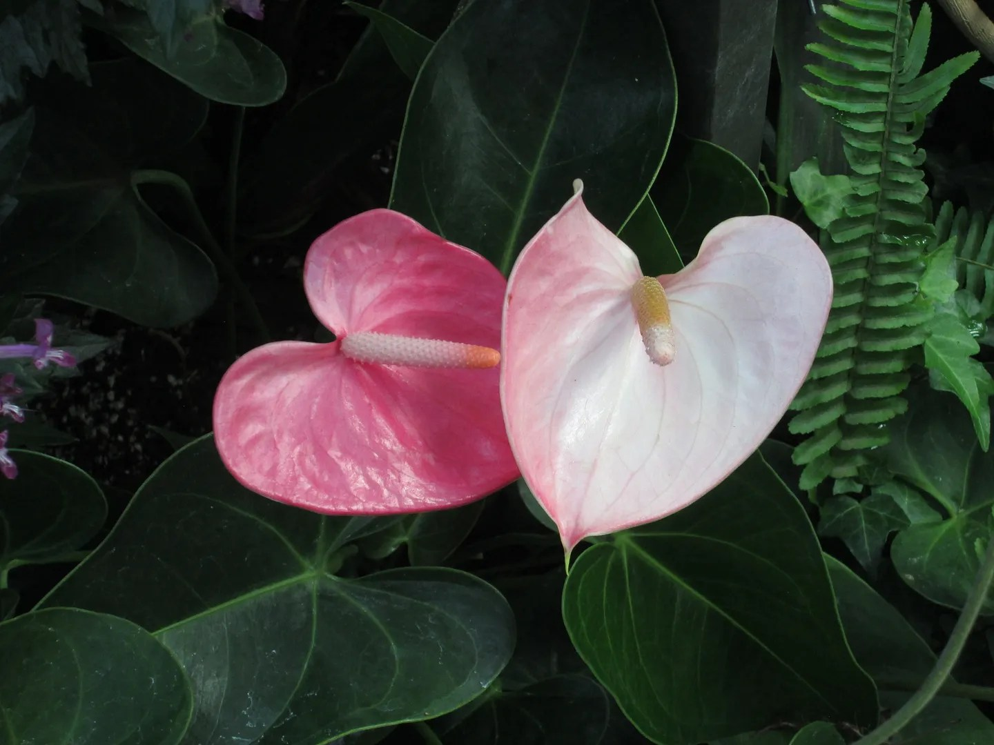 two pink heart-shaped tropical flowers, one dark pink and one light pink