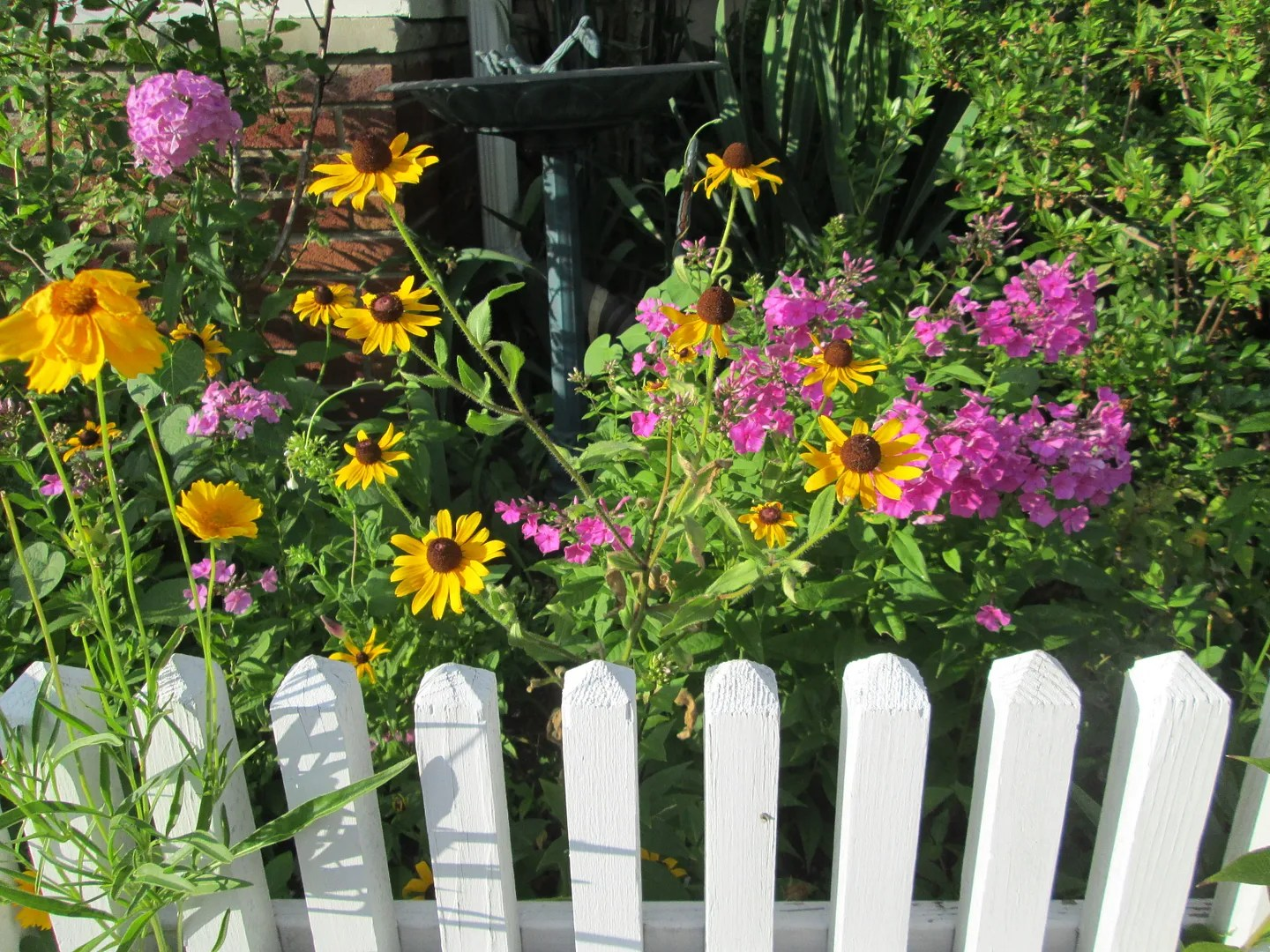 black eyed susans and pink flowers behind white picket fence