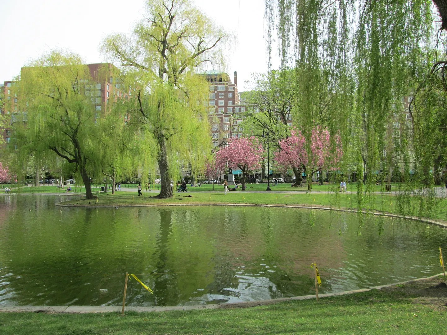 weeping willows, cherry tree, and lagoon in boston public garden