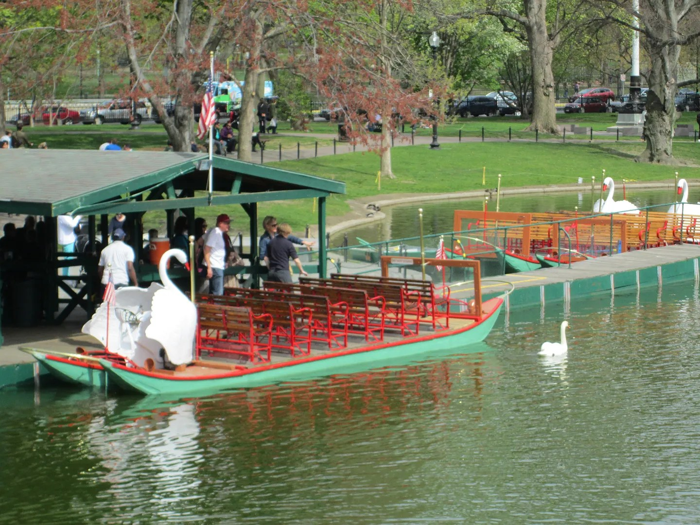 swan swimming alongside swan boat in boston public garden