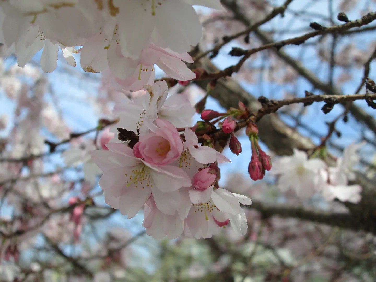 close-up of pink and white cherry blossoms