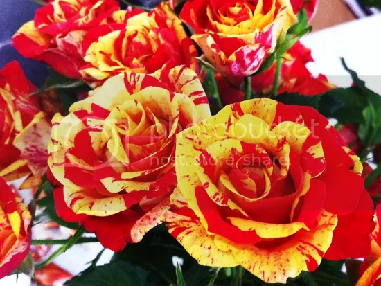 Yellow and red roses