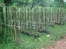 And Bamboos.