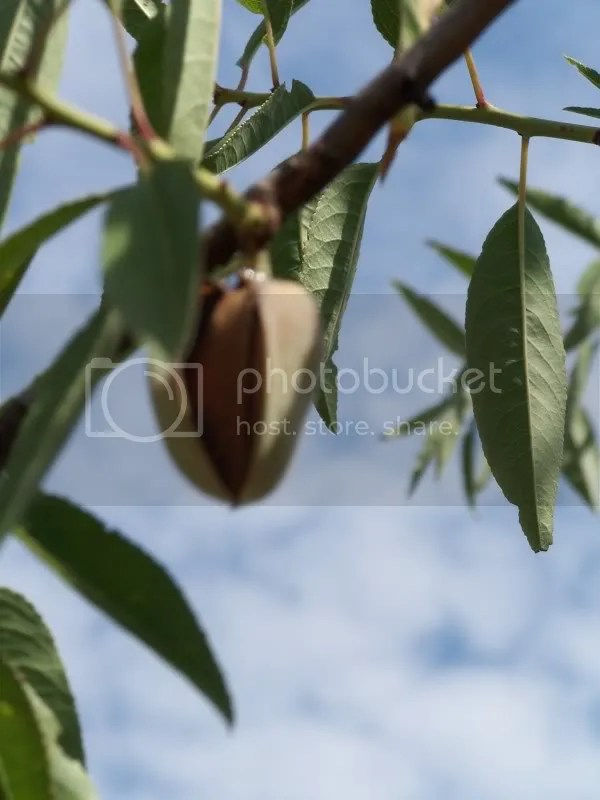 Once the pods on the almond tree split open and begin to dry they are ready to be taken off the tree. Usually just shaking the branch will cause them to fall off.