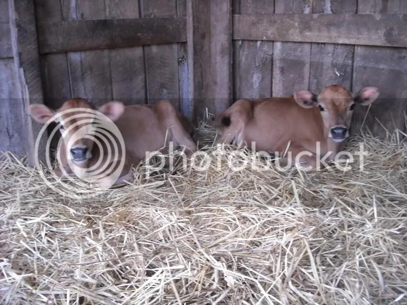 Twin Jersey Calves