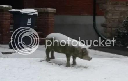 Snowy Pig