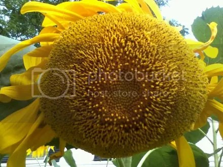 Sunflower in Your Face