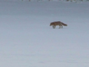 雪原を歩きキタキツネ
