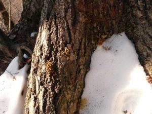 ミズナラの根元にあるエゾモモンガのフン