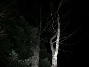 夜の森 トドマツ、ヤチダモ