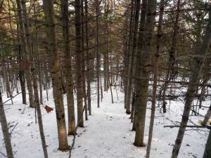人工林の規則的なトドマツ