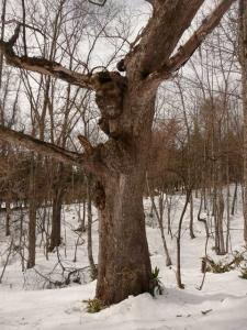 ハルニレ(コブニレ)の古木