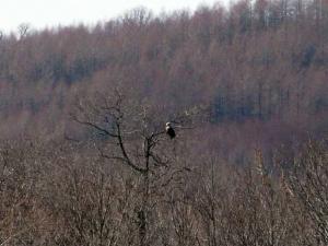 木の枝に止まるオオワシ