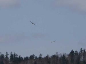 空を舞うオオワシの群れ