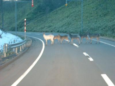 白いエゾ鹿