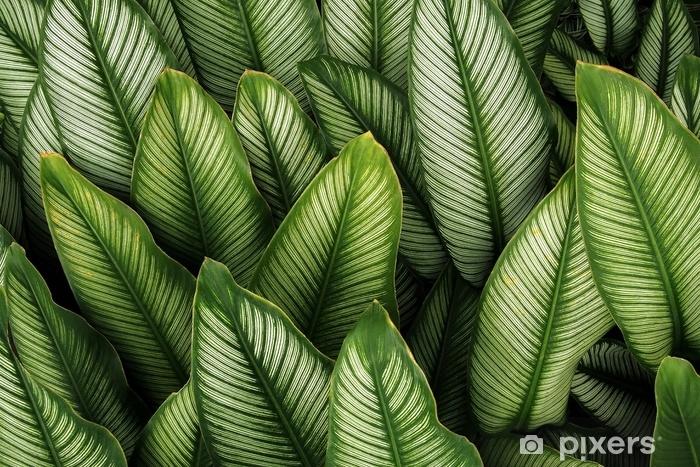 rideau occultant feuille verte avec des rayures blanches de calathea majestica la nature des plantes a feuillage tropical laisse motif sur fond sombre pixers nous vivons pour changer