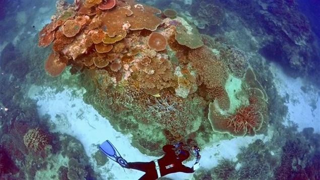 La Grande barrière de corail a blanchi à 93 %, selon des chercheurs de l'Université James Cook, en Australie.