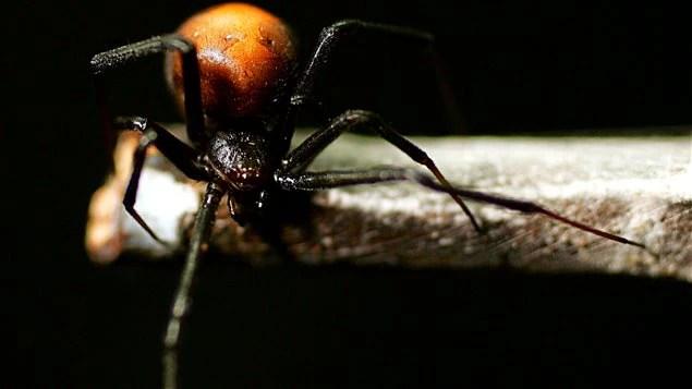 Une veuve noire femelle