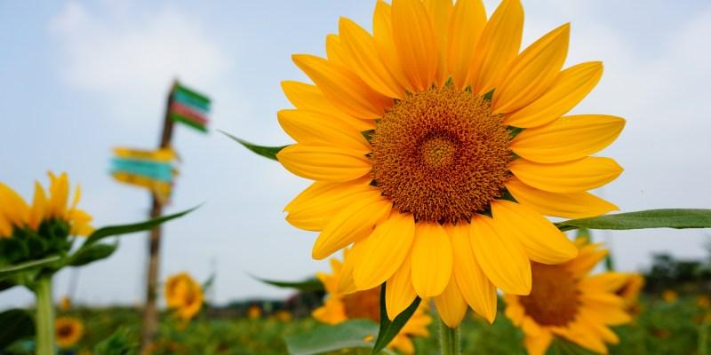 彰化》花壇向日葵花海  一片金黃色閃耀 三春老樹彩繪稻田