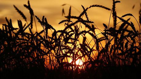 Buğday üretimi ve ihracatı