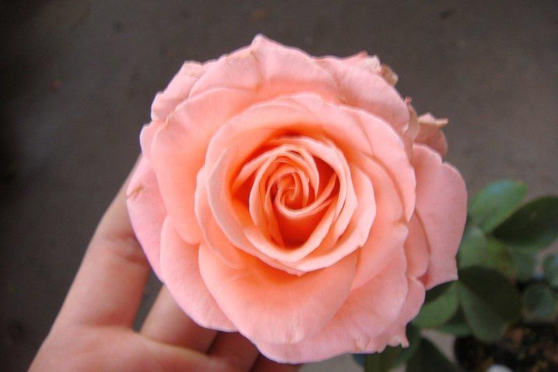 樹苗花苗~水果苗~玫瑰苗-((( 卡蜜拉 大花四季開花 ))) -4吋盆 -豐花盛開-花花世界玫瑰園 - 露天拍賣
