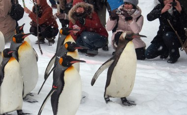 [北海道]旭山動物園冬季最大必看活動-『企鵝散步』