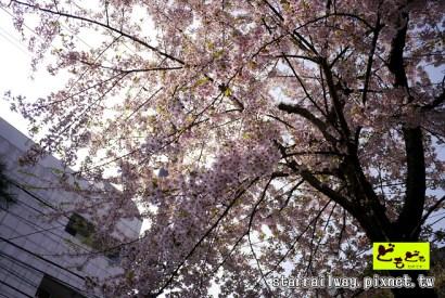 [青森]櫻花滿佈的歷史足跡-「善知鳥神社」