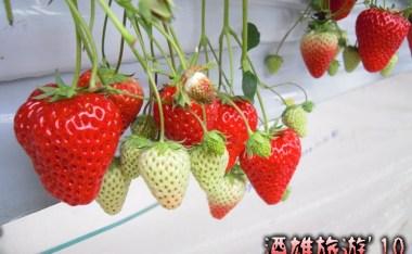冬之味覺草莓特輯-日本草莓品種 & 杉山草莓園採果趣