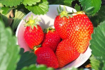 [關東自駕]農園採果とちおとめ(枥木乙女)草莓吃到飽-邂逅之森草莓園 日光自駕順遊景點
