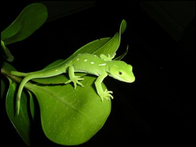 Wellington green gecko, DOC