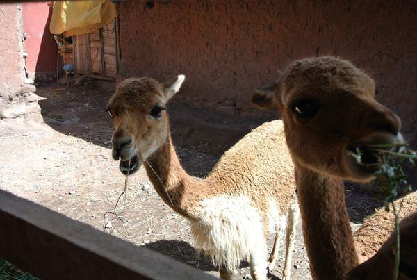祕魯從Puno到Cusco Inka Express 巴士 part1 每個國家都有自己的風獅爺