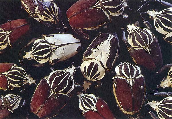 Rosamond Purcell, Goliath beetles