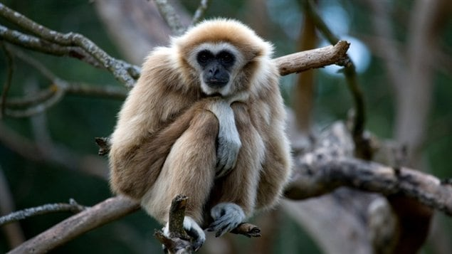 Un gibbon à mains blanches