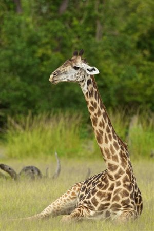 Une girafe de Thornicroft