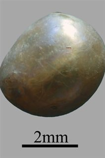 La perle fine d'Umm al-Quwain 2 (E.A.U.), datée de 7500 ans, était associée au squelette n°4 de la nécropole.