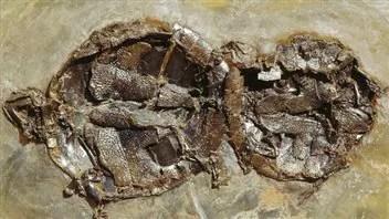 Les fossiles de tortues