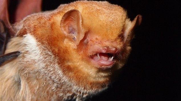 La chauve-souris rousse