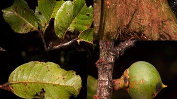 Pouteria maxima est un arbre massif de la forêt tropicale guyanaise, avec des feuilles épaisses et coriaces, qui peut résister au feu et à la sécheresse