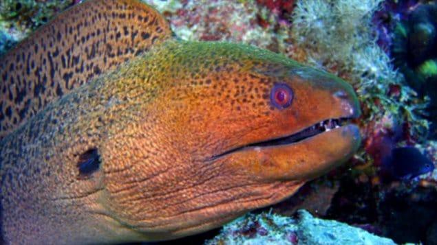 La murène géante javanaise (Gymnothorax javanicus) chasse la nuit dans le labyrinthe des récifs coralliens.