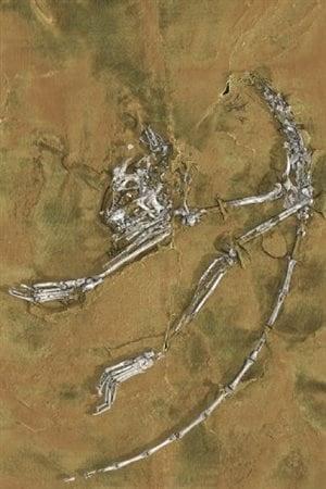 Les ossements d'Archicebus achilles