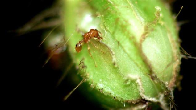 Une fourmi découpant un bouton de fleur.