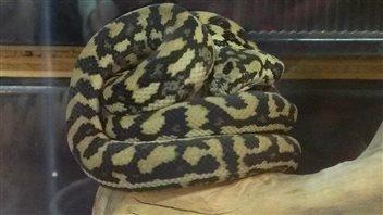 L'établissement Reptile Ocean possède plusieurs pythons comme celui-ci, visible sur sa page Facebook.