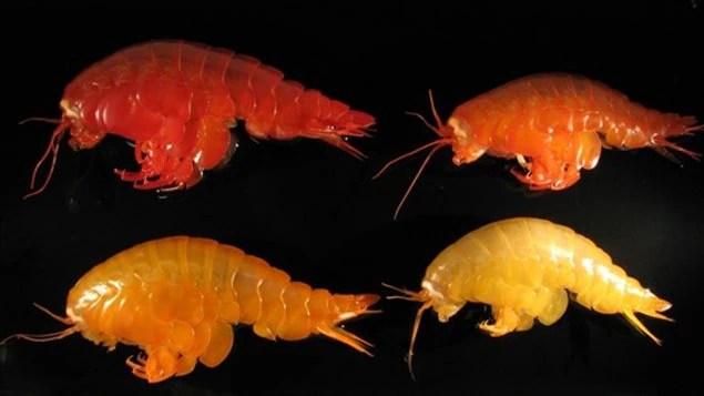 Quelques spécimens des espèces qui ont été collectés dans un même endroit près de la péninsule Antarctique. Les différences de coloration sont fréquentes chez cette espèce et probablement liées au régime alimentaire et au stade de mue.
