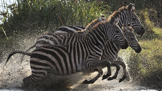 Des zèbres dans le parc national de Nairobi.