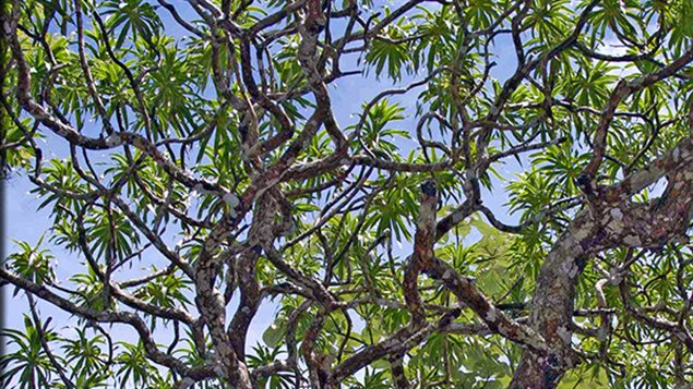 L'arbre-dragon de Thaïlande, qui peut atteindre 12 mètres de haut