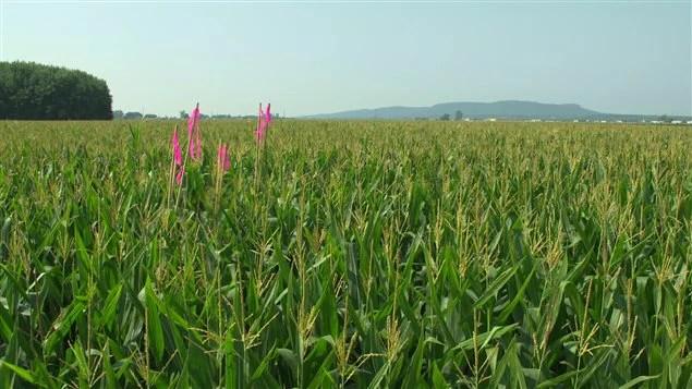 Ce champ de maïs est le théâtre d'une prise d'otage