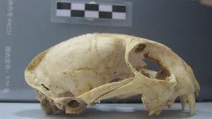 Vue latérale du crâne de chat domestique du site néolithique de Wuzhuangguoliang (Shaanxi ; 3200-2800 avant notre ère)